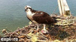 Audubon Osprey Nest powered by EXPLORE.org