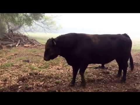 Snorting Angry Bull