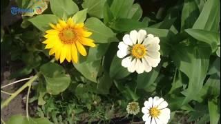 Jadi Spot Wisata Baru, Petani Bawang di Bantul Alih Fungsikan Lahannya untuk Bunga Matahari