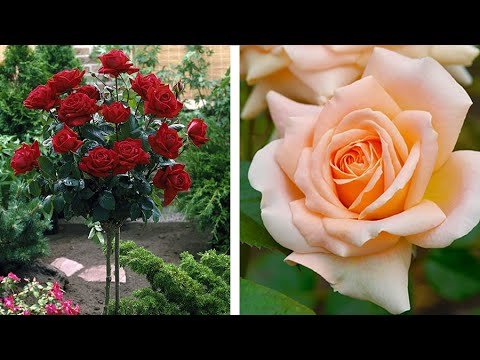 How to do budding in rose plants