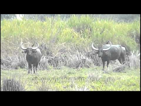 Wild water buffaloes of Kaziranga