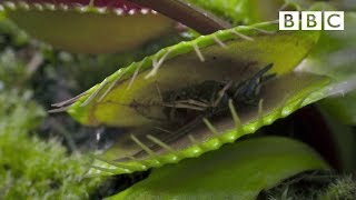 Life - Venus Flytraps: Jaws of Death - BBC One