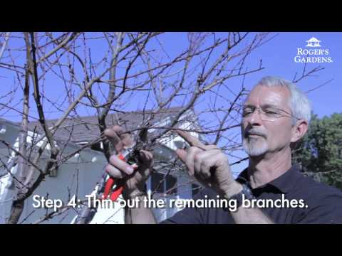 Peach Tree Pruning with Steve Hampson