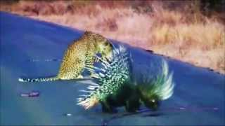Leopard battles vs Porcupine | Leopardo vs Cuerpoespin | Batalla Animal