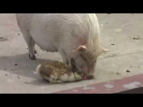 Свинья отработала морковку у кролика (Pig took away the carrot from rabbit)