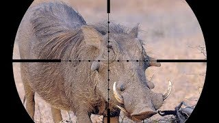Epic SCOPE CAM Warthog Hunting in AFRICA!!!! (Close Shot)