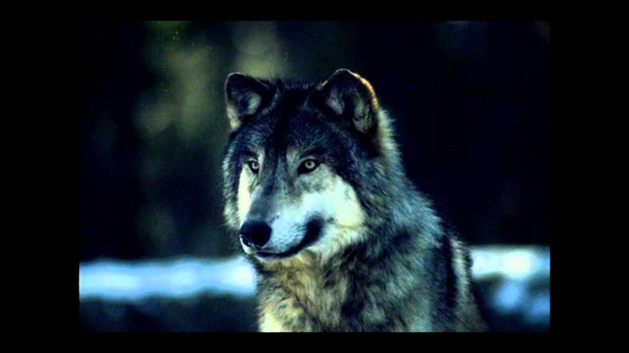 aullido del lobo descargar ares
