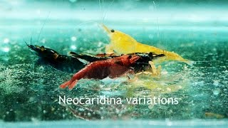Green, Red, Blue, Yellow, Orange, oh my!  Dwarf Neocaridina Shrimp