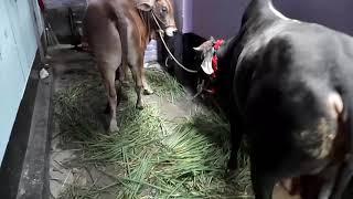 Xxx cow