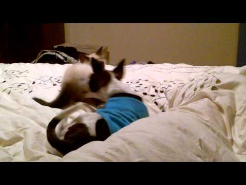 Sneaky kitten pouncing on dog