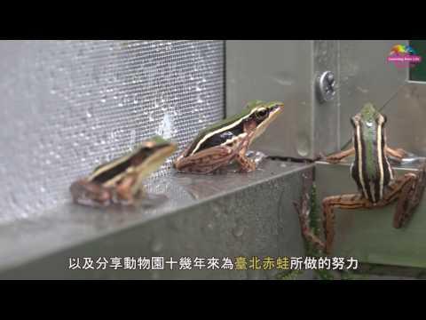台灣-臺北市立動物園-EP 149 響應全球拯救瀕危青蛙日 動物園臺北赤蛙特展開幕