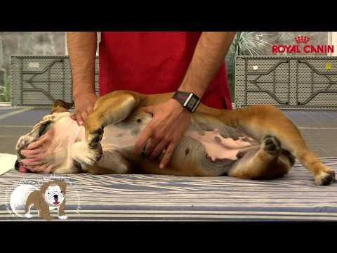 Quedada Nacional Charla veterinaria Reanimación cardiopulmonar RCP I, www.elbulldogingles.es