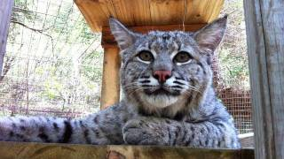 "MAX - Rescued ""Pet"" Bobcat"