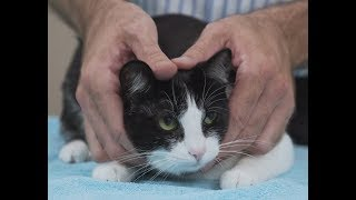 How to pick up a cat like a pro - Vet advice on cat handling.
