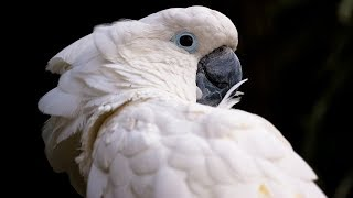 Funny Cockatoo Talking Compilation - Cockatoo Funny 😂😁