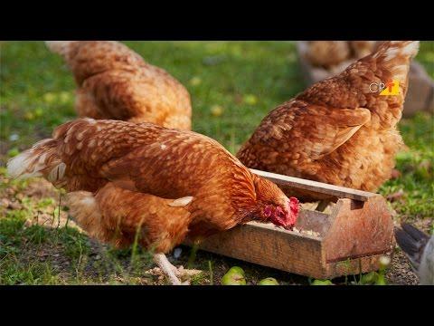 Curso a Distância Criação Orgânica de Frangos de Corte e Aves de Postura