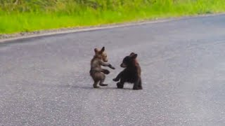 Baby Bears Wrestle In The Road