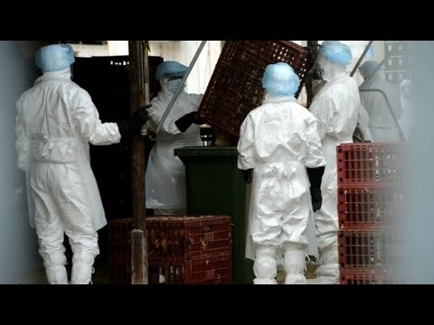 Hong Kong culls chickens to battle bird flu