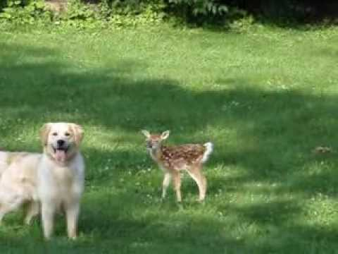 Golden Retriever and Newborn Fawn