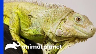Dr. Ross Finds Abscess On Iggy The Iguana's Tail | The Vet Life