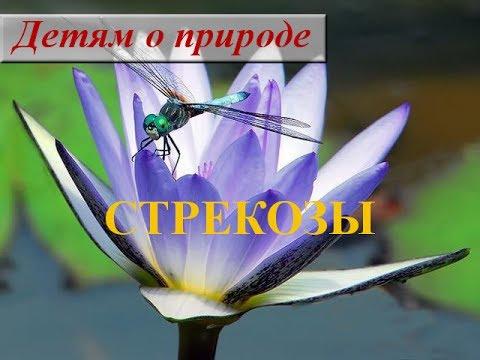 Детям о насекомых ❦ Сообщение о насекомом СТРЕКОЗА