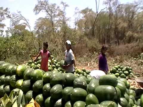 Trabajo colectivo en cosecha de sandías. Casitas - Tumbes - Perú