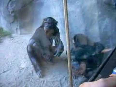 Bonobos At The San Diego Zoo YouTube