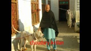 Pakistan bull dog : choudary Shaki  choudary Taleb choudary irfan from gujar khan Bewal POTHWAR 2012 - Durée: 8:39.