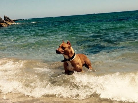 American Pitbull Red Nose Duke 6 Haciendo travesuras