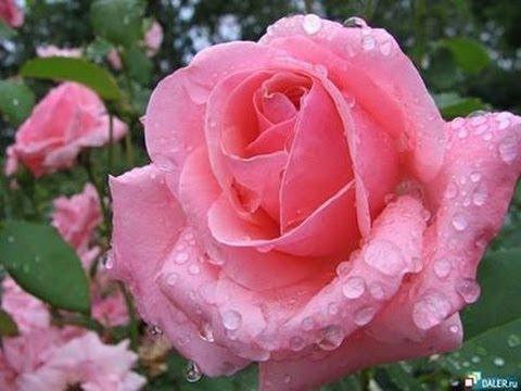 Роза имя и роза цветок