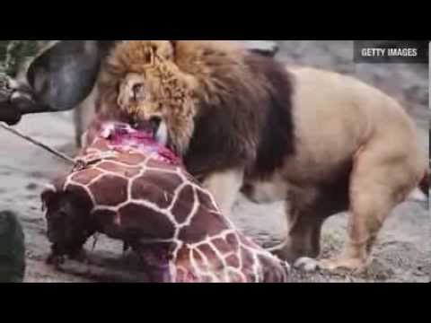 Watch Lion Eats Chopped Up Baby Giraffe at Copenhagen Zoo   Director Interview