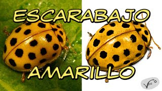 Arte digital, Escarabajo Amarillo | Digital art, Yellow beetle