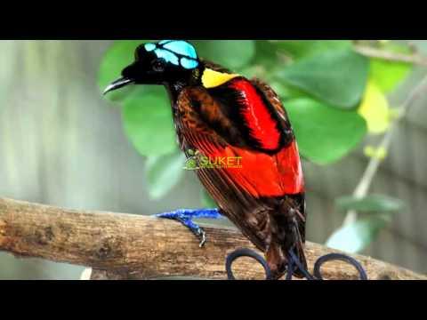 Suara Burung Surga Cendrawasih Botak Cicinnurus respublica MP3