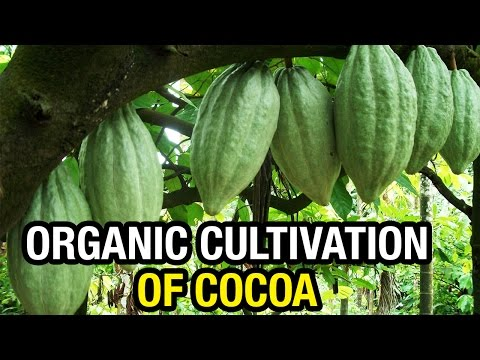 Organic Cultivation of Cocoa (Barry Callebaut) | Special Story | Paadi Pantalu