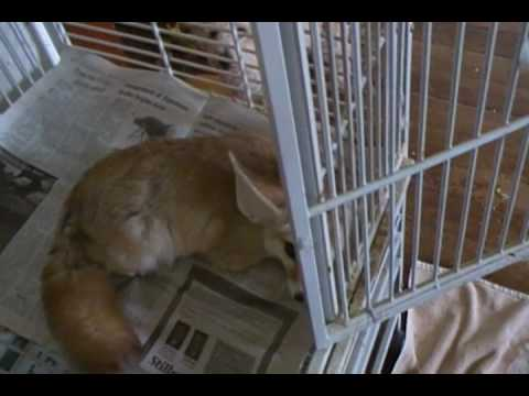 Quiggly the fennec fox visits Verde the amazon parrot Video