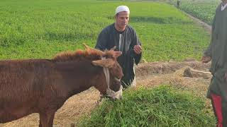 لن تصدق ما وجد جابر في حمار  الحاج مبروك/ مفاجأة شئ لايصدق / هتضحك من قلبك 😂😂