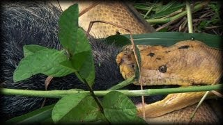 Python kills Pig 04 - Dangerous Animals