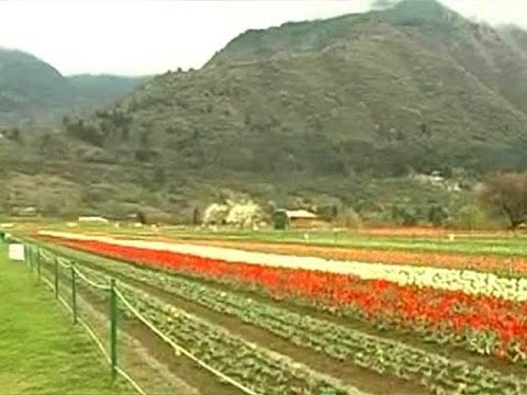 Asia's largest tulip garden is in full bloom in Srinagar