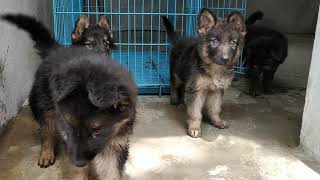 JD Kennel  Double coat German Shepherd puppies available 🐩🐕  Jd kennel and pet shop contact number