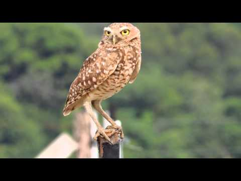Burrowing Owl - Athene cunicularia - Orinoquia Birding - Owls of the World