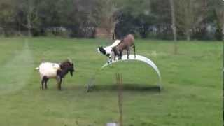 Прикольные козы качаются на металлическом листе