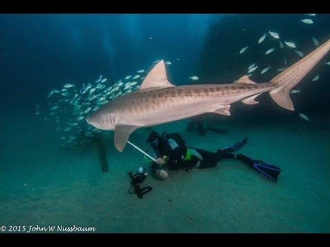 THE TIGER SHARK