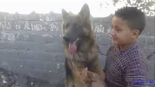 قوة وشراسة الكلب الجيرمن وضعفة مع الاطفال
