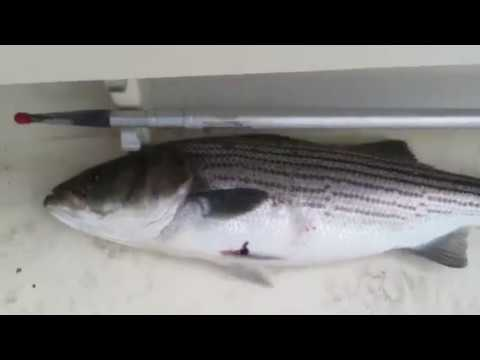 Striped bass fishing Long Island sound 2012