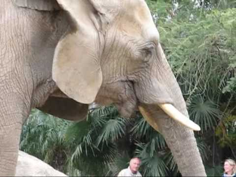 Asian & African Elephants - Endangered Species