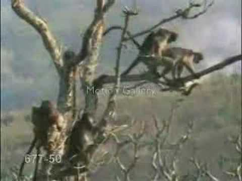 Monkey Sex....so Funny.. video