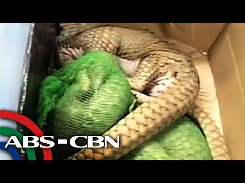 UKG: Pangolins at cobra, nasabat mula sa isang Chinese national