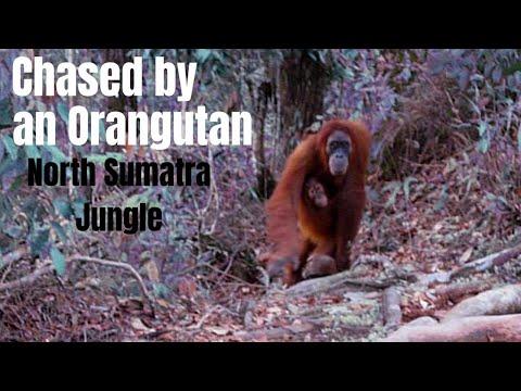 Orangutan chasing us in Gunung Leuser National Park, Indonesia 2013