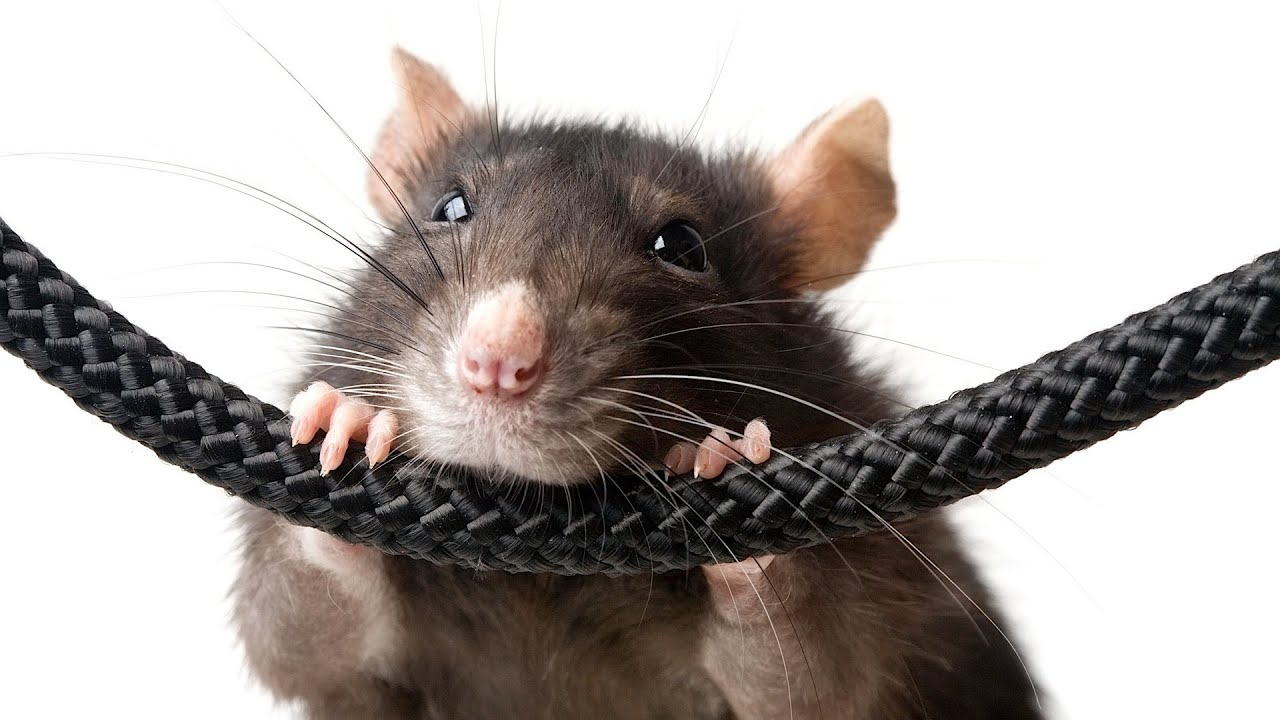 Dog Toys For Rats