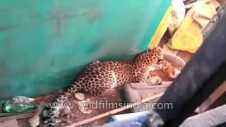 Leopard attack in India: big cat injures 3 at Valsad village in Gujarat